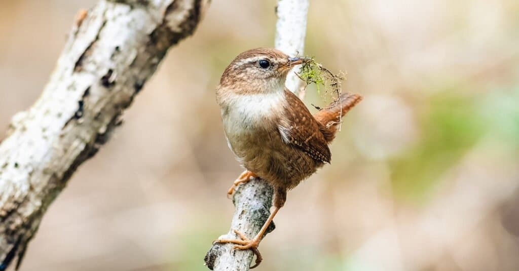 The House Wren building a nest with the building material in its beak.