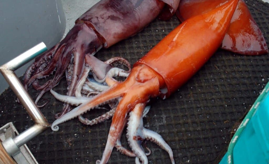 Two Humboldt Squid caught by fishermen.