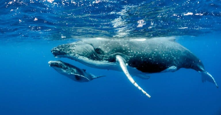mother and baby humpback whale swimming together