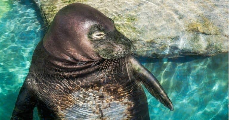 Hawaiian monk seal relaxing in a pool