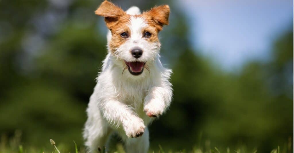 Fastest Dogs: Jack Russell Terrier