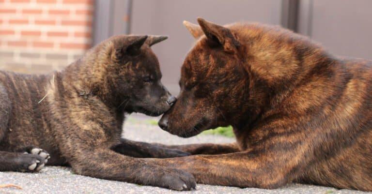 Kai Ken Nose-to-Nose with Puppy