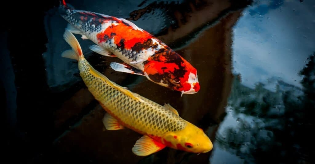 Japanese Koi in a pond.