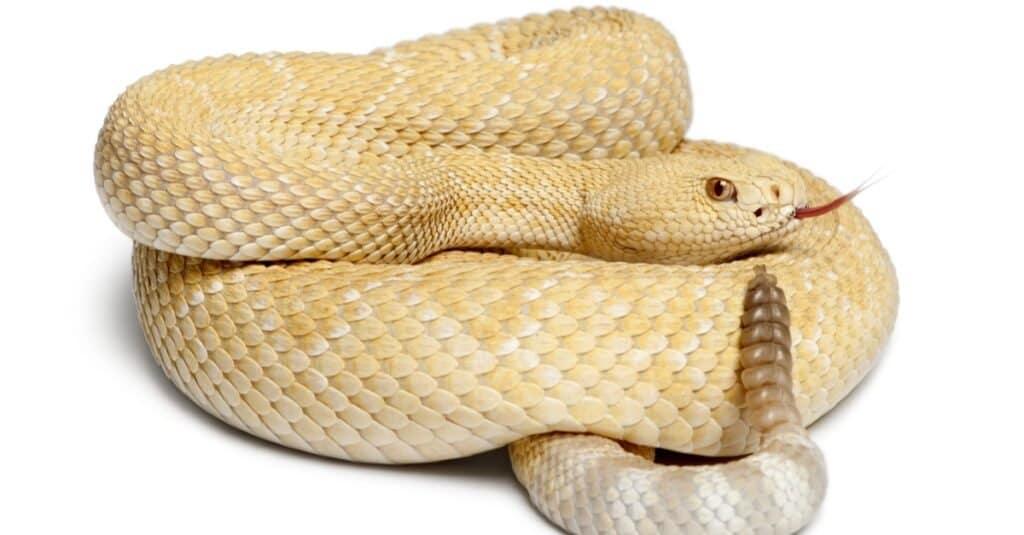Largest Rattlesnake