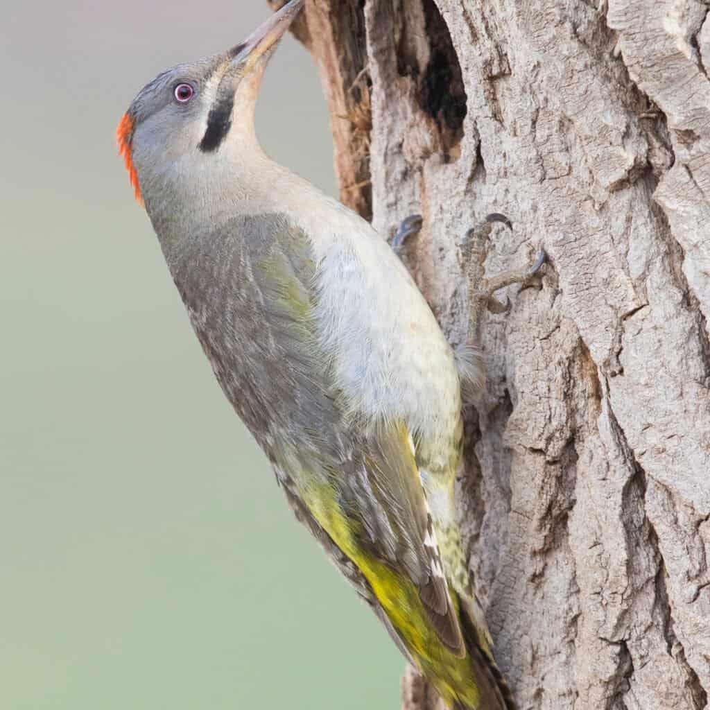 Largest Woodpecker - Levaillant's Woodpecker