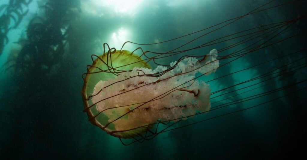 A Lion's mane jellyfish (Cyanea capillata) swims next to a kelp forest off the coast of Monterey, California. This giant stinging jelly can grow huge with tentacles reaching over 100 ft long.