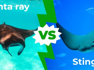 A Manta Ray vs Stingray: 9 Key Differences Explained