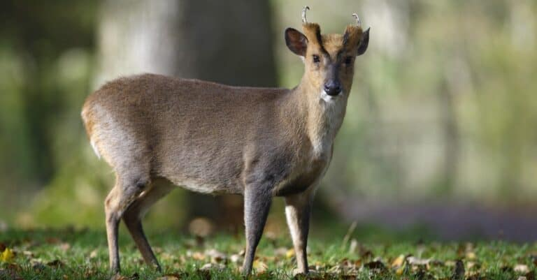 A male Chinese muntjac, Muntiacus reevesi, in Wales.