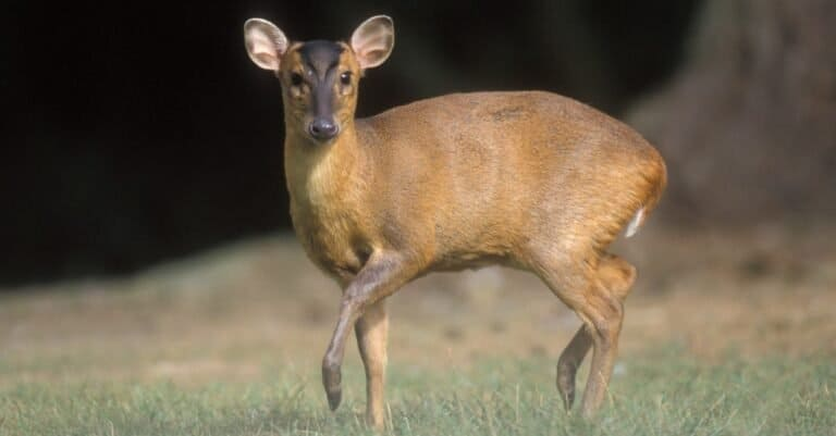 Muntjac on the grass in the woods.
