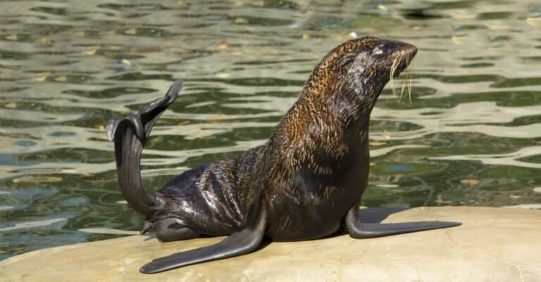 Northern fur seal sitting on a rock in a water pool.
