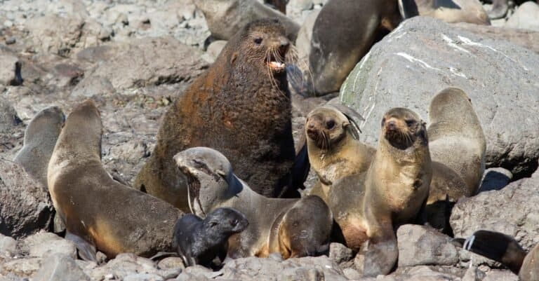Small harem of northern fur seals on a rookery on a summer sunny day.