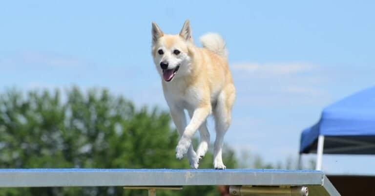 Norwegian Buhund running on a dog walk at an agility trial.