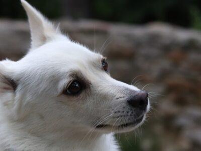 A Norwegian Buhund