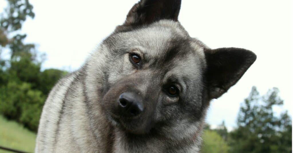 Norwegian Elkhound Close-Up