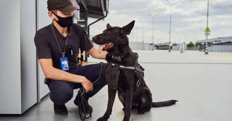 Norwegian Elkhound Working with Airport Security