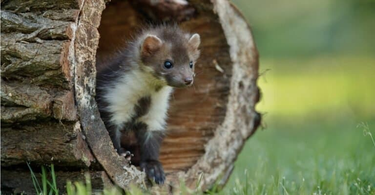 Young Pine marten looking out of a tree trunk.