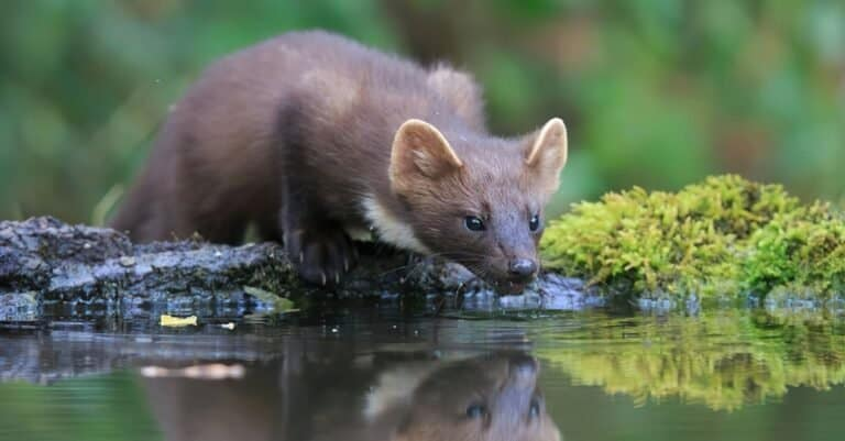 Pine Marten drinking from a lake in the forest.