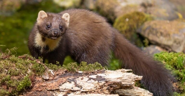 Young Pine marten hunting in the woods.