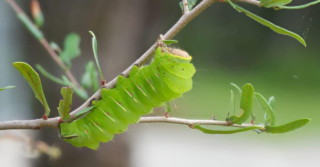 Largest caterpillars - Polyphemus