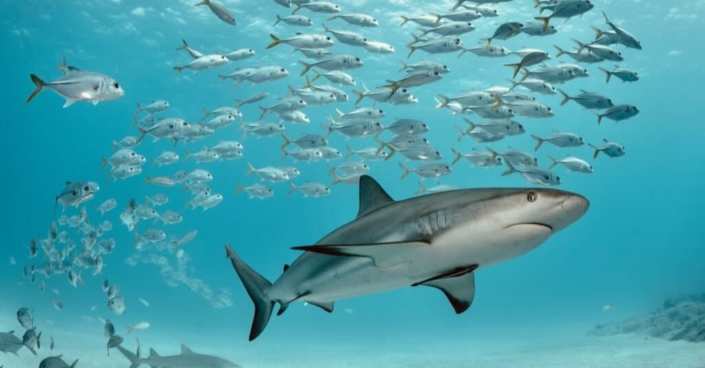 A Caribbean reef shark swims with school of jacks.