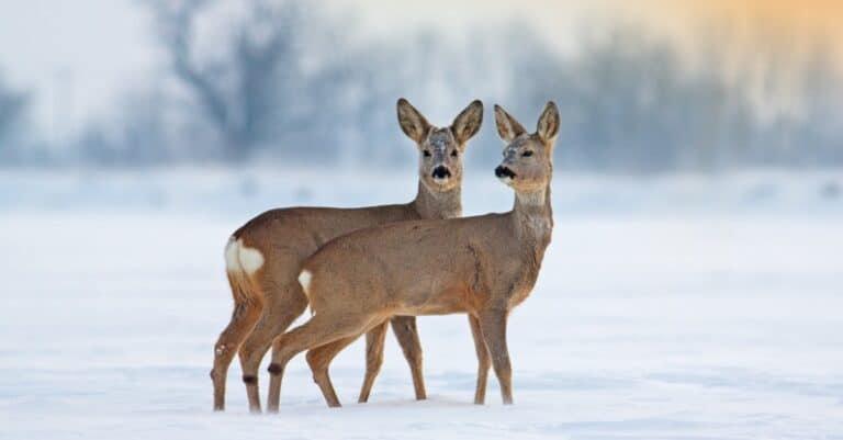 Two young roe deer, Capreolus capreolus, standing on snow in wintertime.