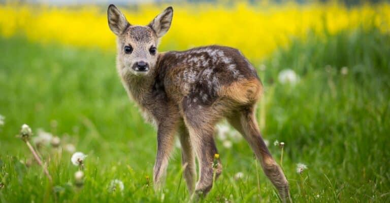 New born roe deer.