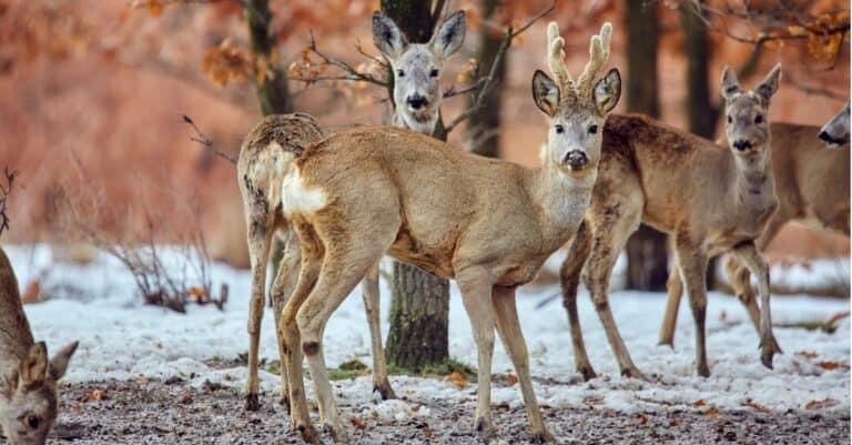 Roe deer (Capreolus capreolus) in an oak forest at a feeding spot.
