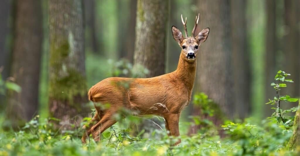 Roe deer, Capreolus capreolus, standing in the middle of the woods.