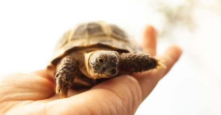 Russian Tortoise baby on a person's hand.