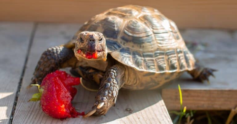 Russian tortoise eating strawberries in the garden.