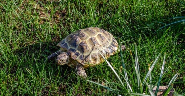 Russian tortoise crawling on green grass.