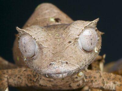 A Satanic leaf-tailed gecko
