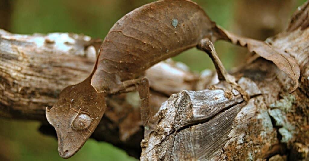 The satanic leaf-tailed gecko sitting on a tree stump in Madagascar.