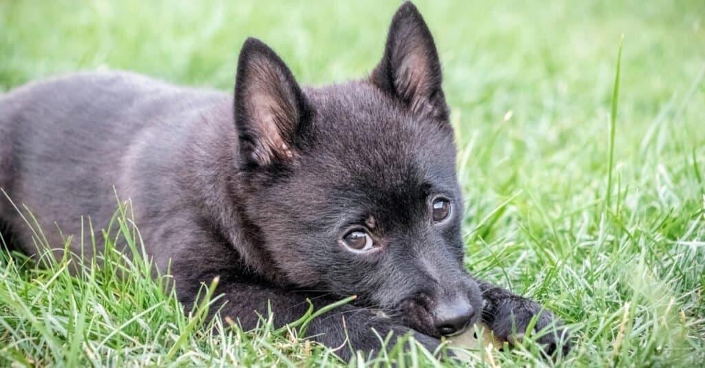 Schipperke puppy resting in the grass.