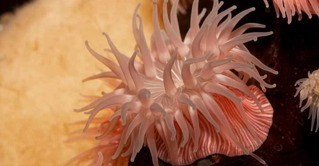 Colourful pink-striped brooding sea anemone (Epiactis prolifera) from shallow marine waters of British Columbia.