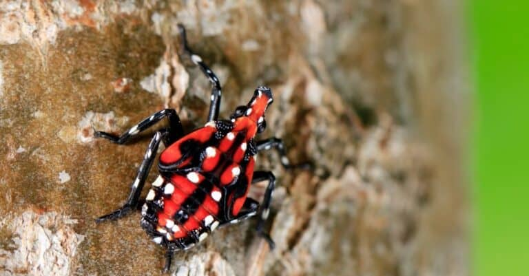 Fourth-instar stage of spotted lanternfly, Lycorma delicatula.