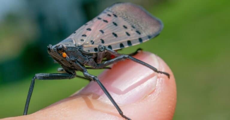 Spotted lanternfly on a person's finger.