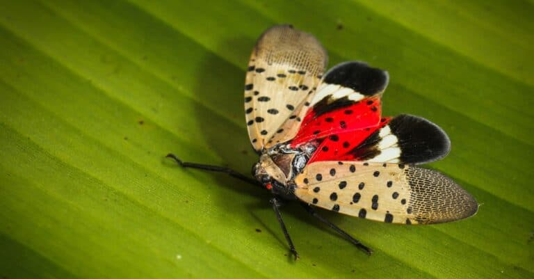 Spotted lanternfly sitting with open wings on a leaf.