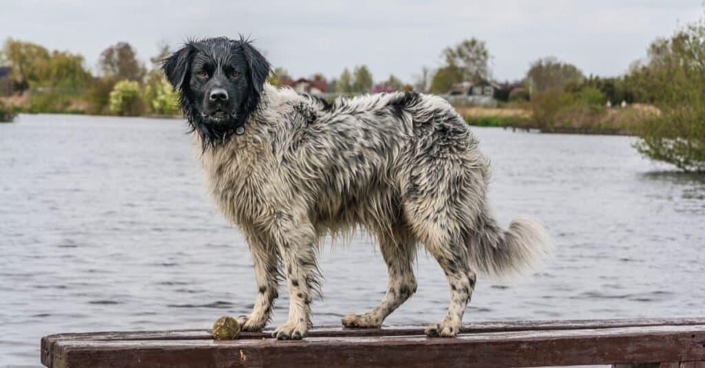 Stabyhoun playing at the lake.