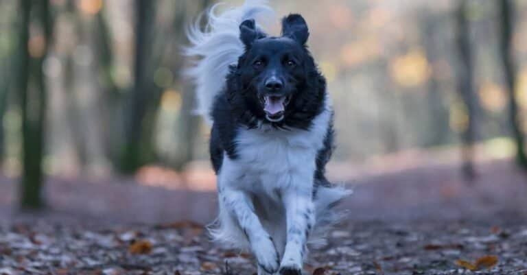 An adult female Stabyhoun dog running over a path with leaves in a forest at fall.