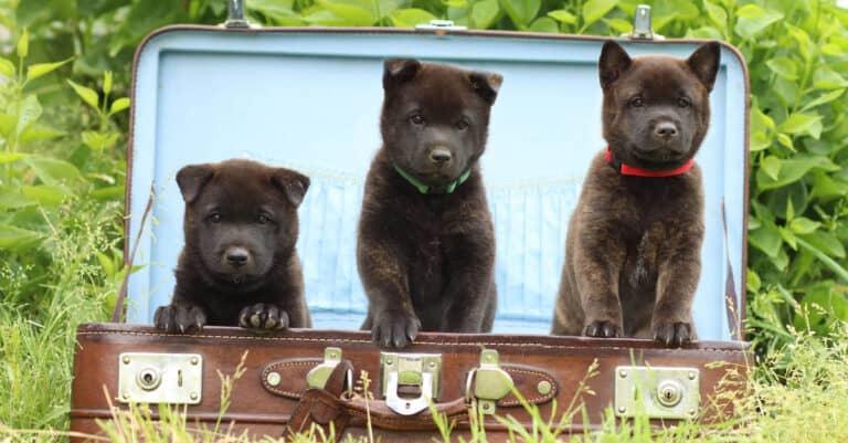 Three Kai Ken Puppies in a Suitcase