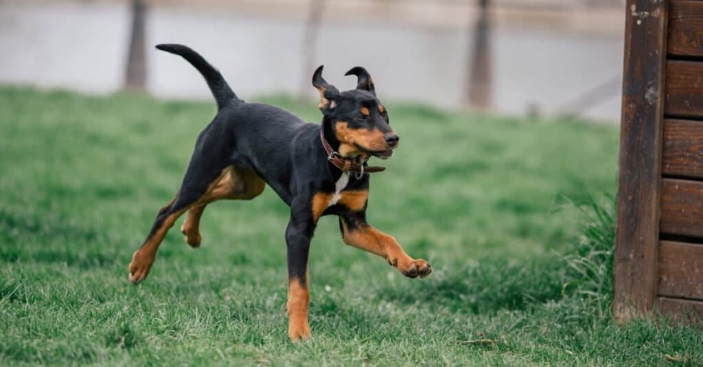 Pure breed Transylvanian Hound puppy running in a dog park.