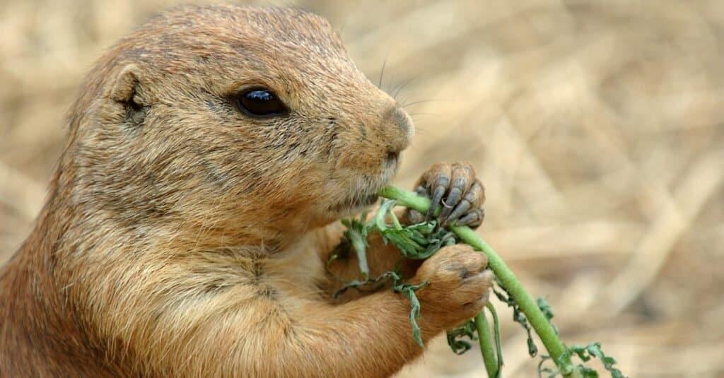 What Do Prairie Dogs Eat