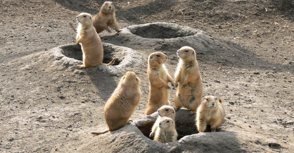 Where Do Prairie Dogs Live