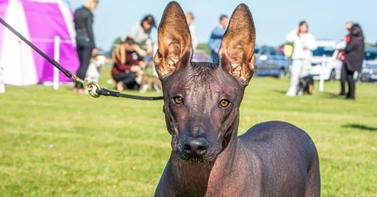 Attentive Xoloitzcuintli, a Mexican hairless dog on leash enjoys the Swedish summer.