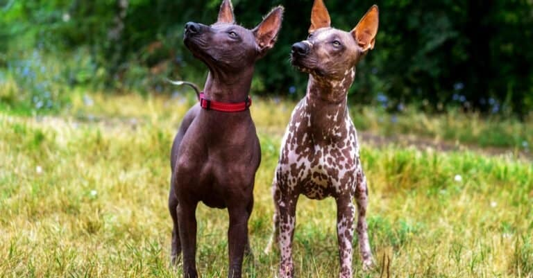 Two Mexican hairless dogs (Xoloitzcuintle, Xolo) on a background of green grass and trees in the park.