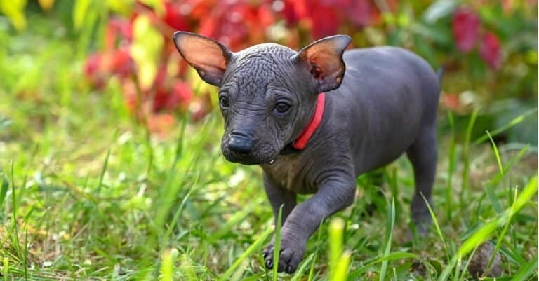Tiny cute Xoloitzcuintle puppy (Mexican Hairless Dog) with red collar walking in a beautiful garden.