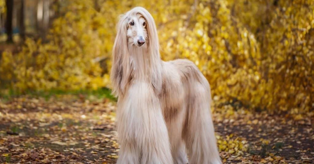 Oldest Dog Breeds - Afghan Hound