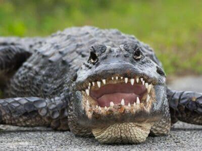 A Where Do Alligators Live in North America?