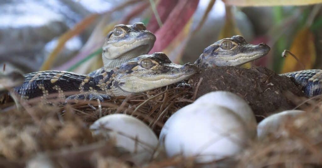 alligator hatchlings in their nest